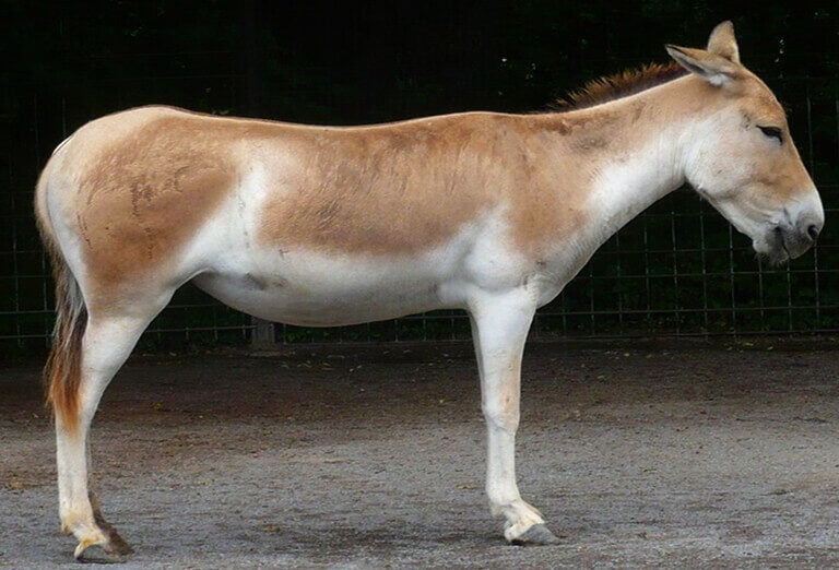Persian Onager in Khar Touran National Park