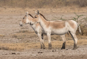 Asiatic Wild Ass in Iran, Iran Birdwatching Tour
