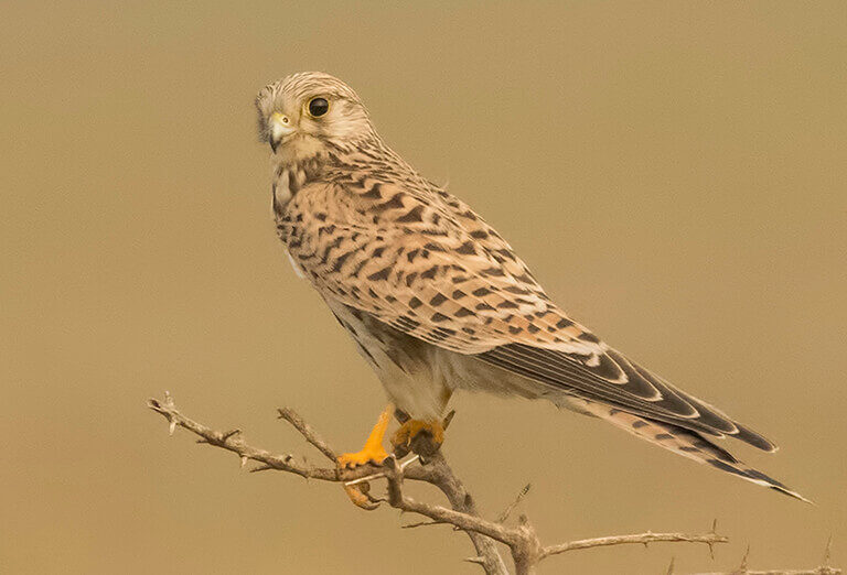 Common Kestrel, Iran Birdwatching tour