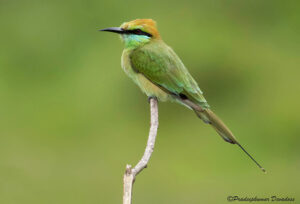 Green Bee-eater, Iran Birdwatching Tour