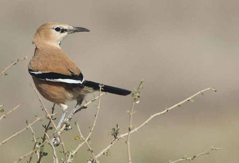 Pleske's Ground Jay, Iran Birdwatching Tour