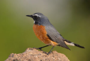 White-throated Robin, Iran Birdwatching Tour