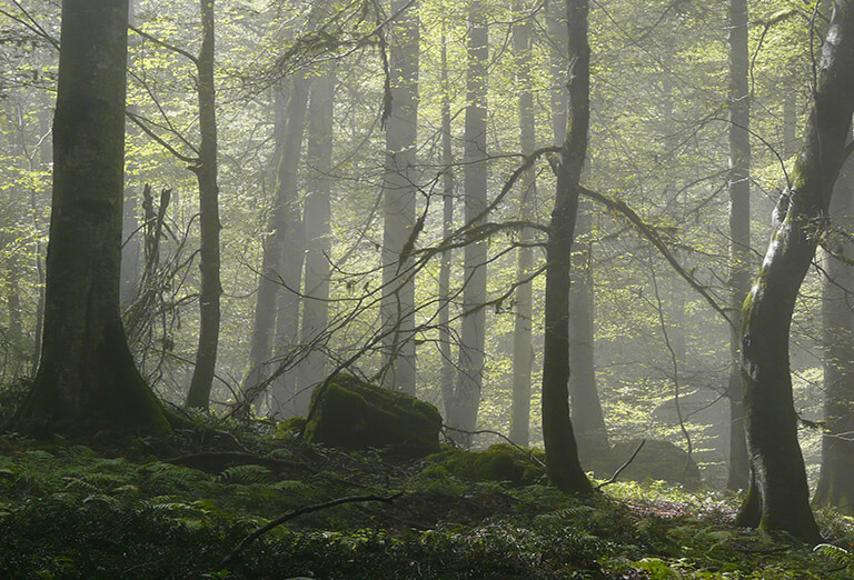 Iran's Natural attractions. Beech Forest of Hyrcanian Forest, in Mazandaran